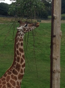 giraffe at Longleat