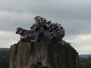 Lemurs all cuddled up together at Longleat
