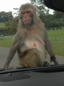 Monkey on our bonnet! Longleat