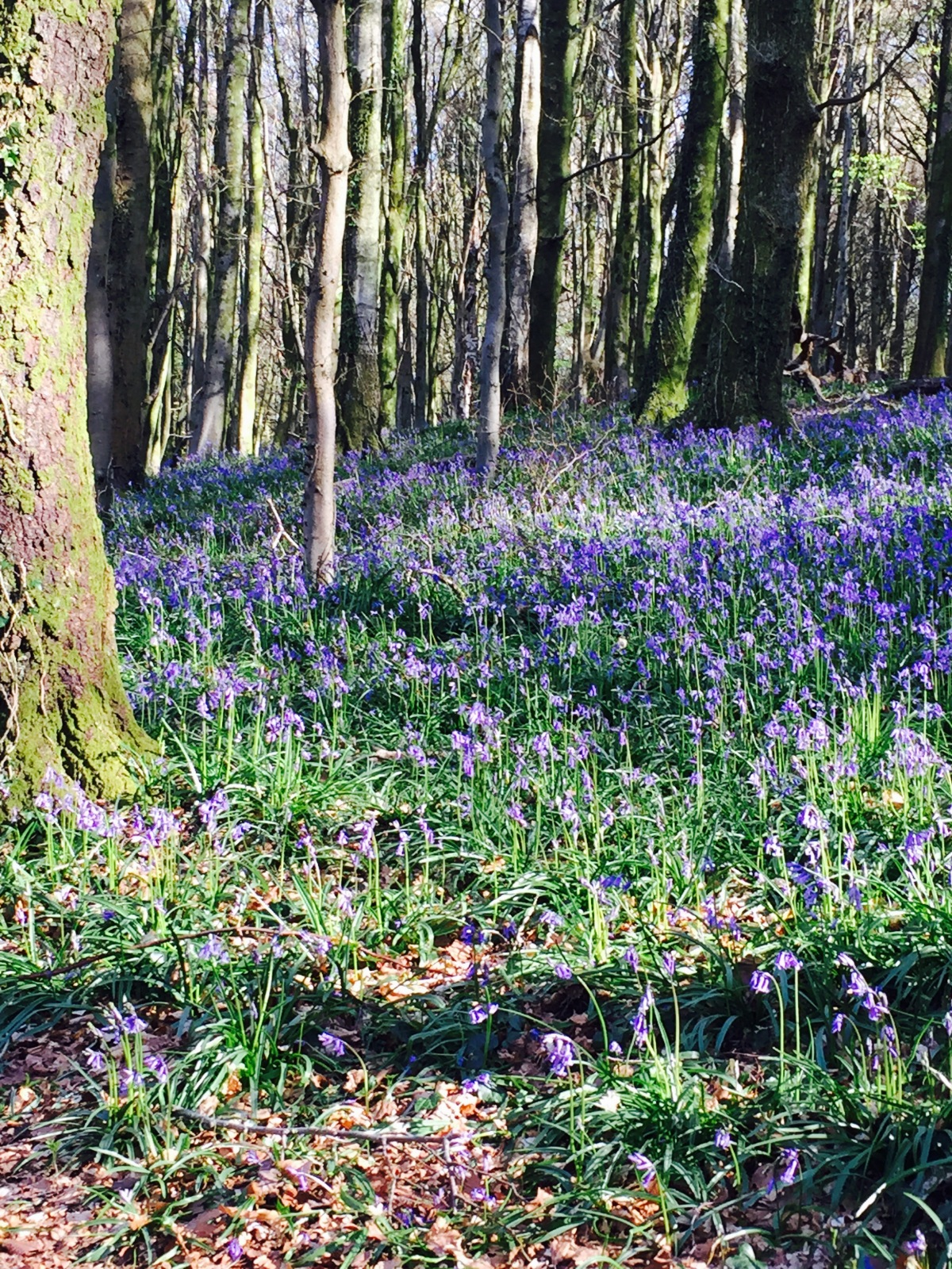 Cardiff's bluebell woods (Wenallt): an early morning walk with W