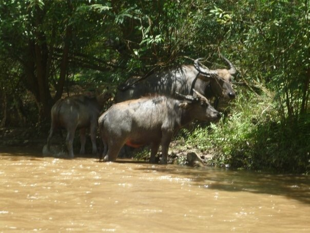 Water buffalo Thailand